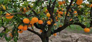 Sorte mandarina