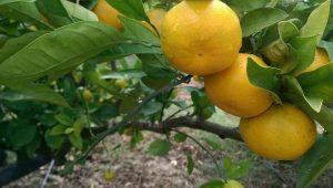mandarina zorica